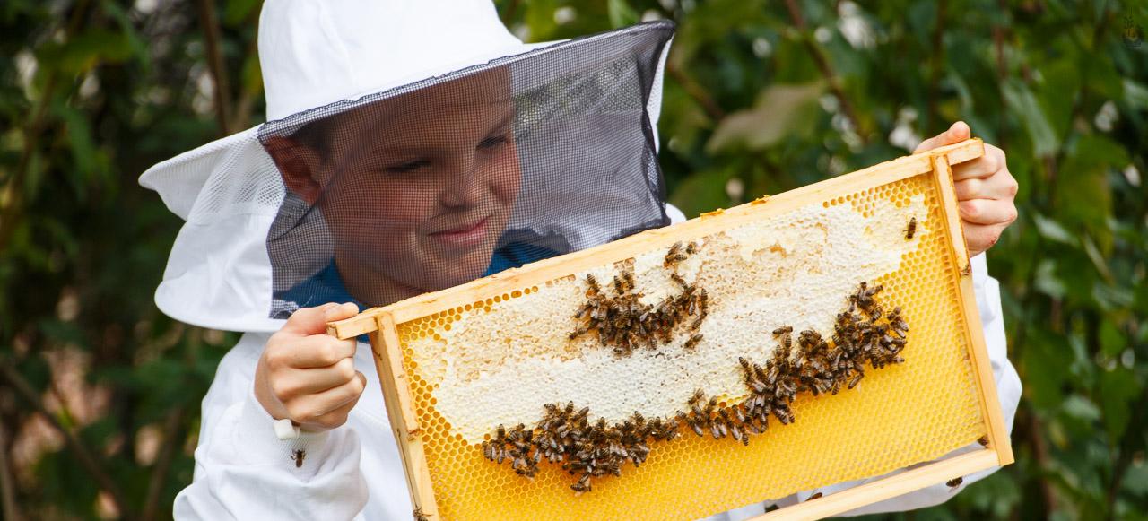 Entnahme einer Honigwabe
