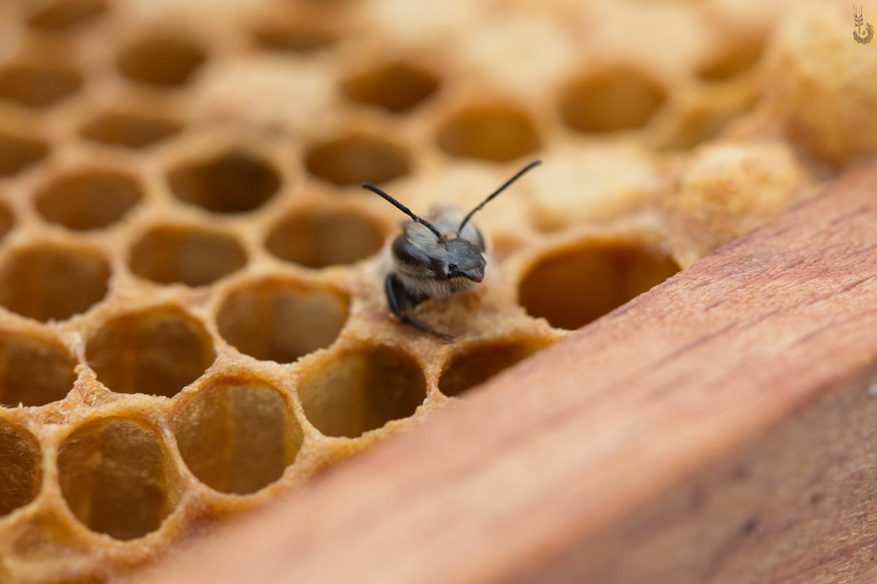 Bienen schlüpfen
